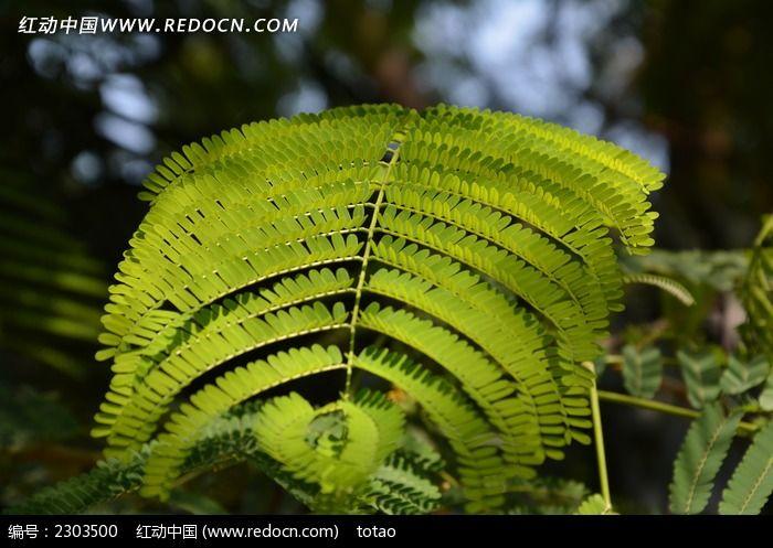原创摄影图 动物植物 树木枝叶 落羽杉树叶