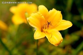 黄花菜上的小蜜蜂