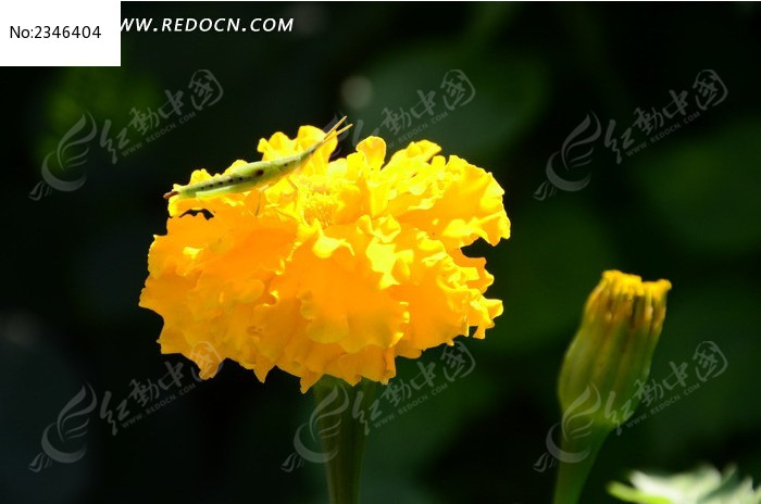 黄色孔雀草上的蚂蚱图片