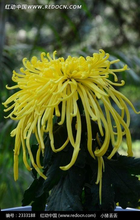 美丽的黄色菊花图片_动物植物图片