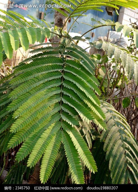 合欢叶图片_动物植物图片