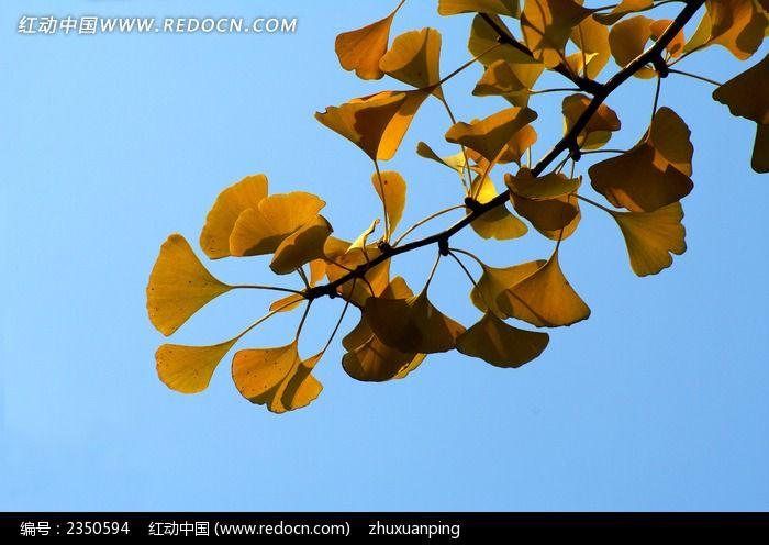 银杏树叶图片_动物植物图片