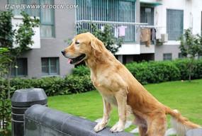 站立的金毛犬