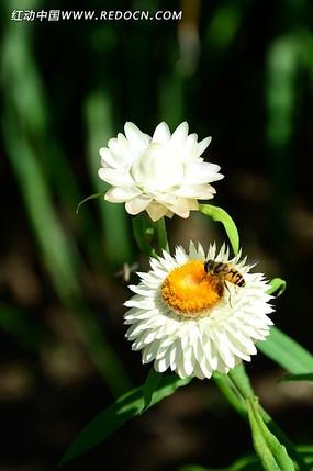 白色麦杆菊上的小蜜蜂