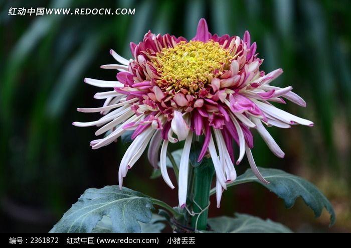 粉色菊花花朵图片_动物植物图片