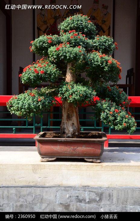 迎客松盆栽景观造型图片,高清大图_树木枝叶素材