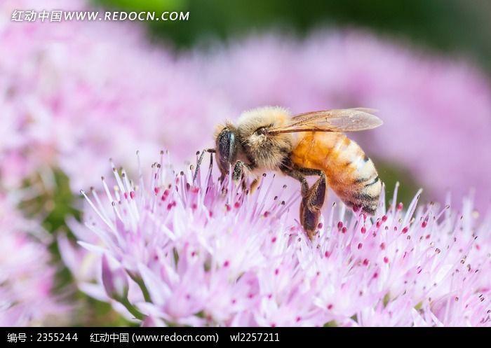 花朵上的蜜蜂图片_动物植物图片