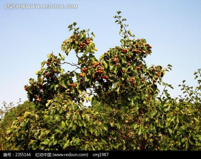 结满山楂的树枝图片,高清大图_树木枝叶素材