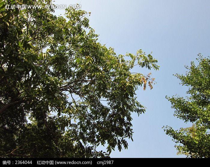 蓝天下的无患子树枝图片_动物植物图片