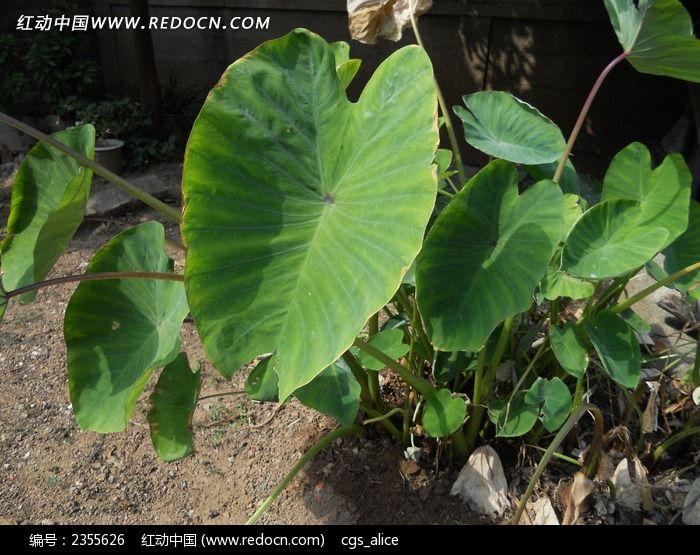 原创摄影图 动物植物 农作物 洋芋叶子  请您分享: 红动网提供农作物