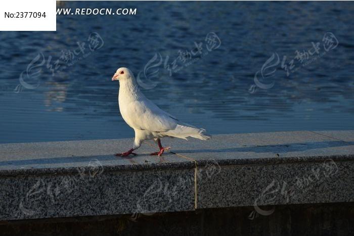 原创摄影图 动物植物 空中动物 水池边上的白鸽