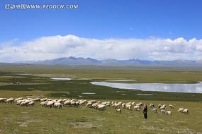 西藏草原 成群的牛羊 一望无际的草原 蓝天白云