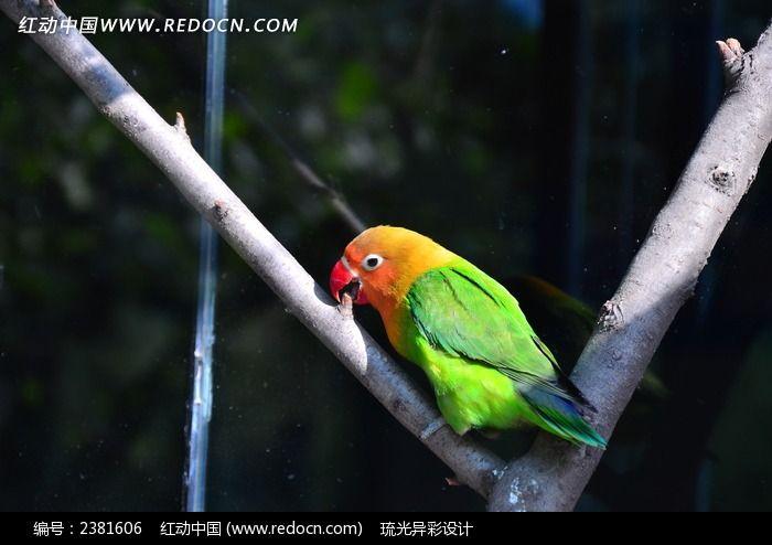 红嘴绿鹦鹉图片_动物植物图片