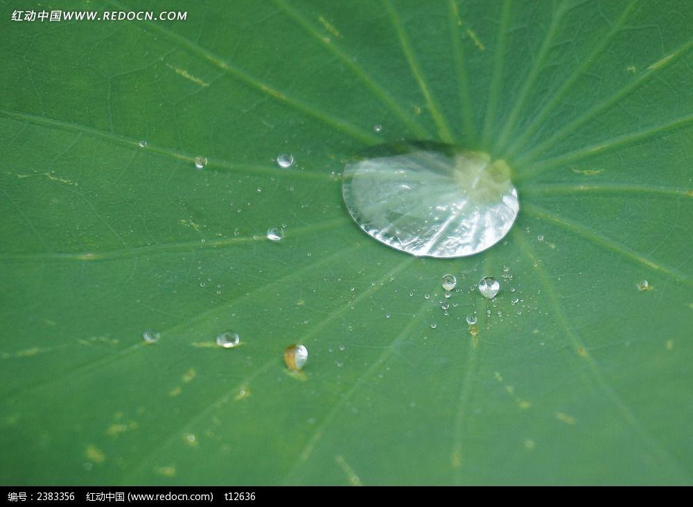 荷叶上的雨露图片_动物植物图片