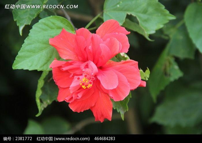 原创摄影图 动物植物 花卉花草 朱槿牡丹  请您分享: 红动网提供花卉