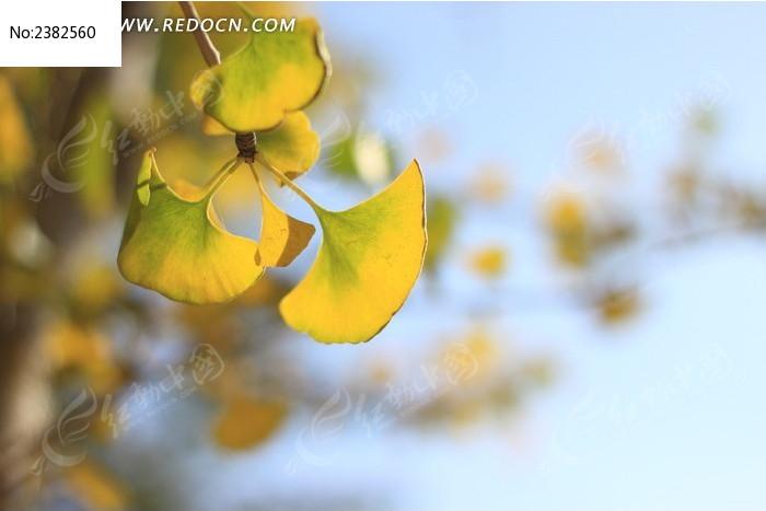 银杏 银杏叶 树叶