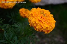 黄色美丽的菊花