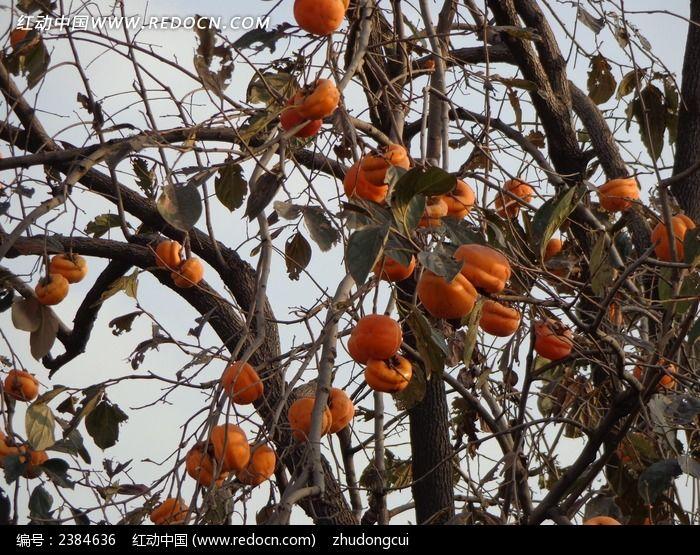 秋天丰收的柿子树高清图片下载 编号2384636 红动网