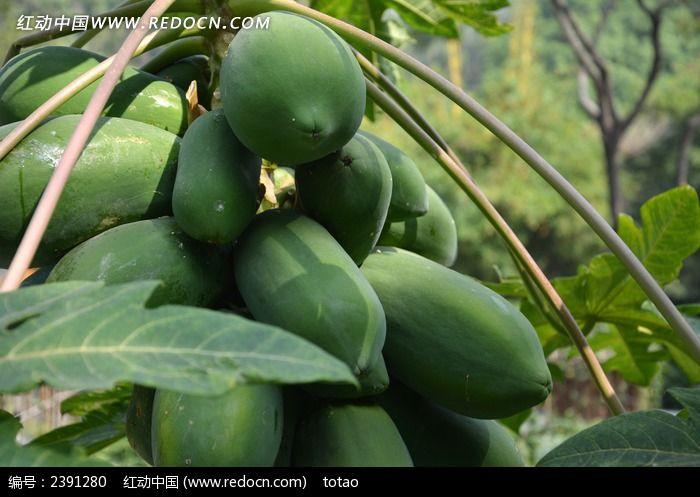 成熟木瓜图片,高清大图