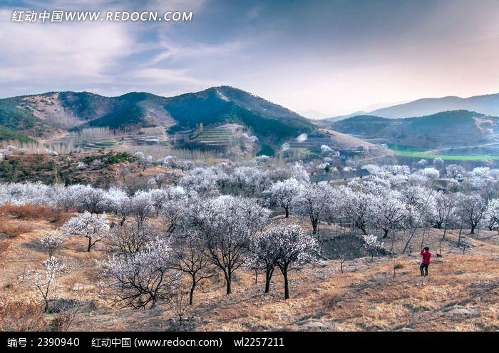 盛开的杏花林风景图片
