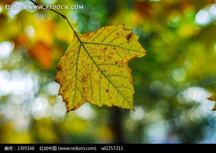 发黄的法国梧桐树叶图片,高清大图_树木枝叶素材