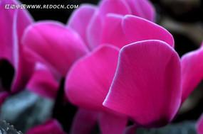 粉色盆栽花卉