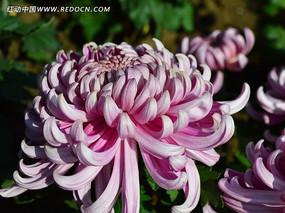 粉色美丽的菊花