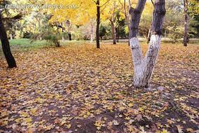 银杏树落叶