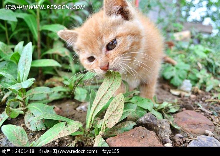 可爱的金丝猫图片