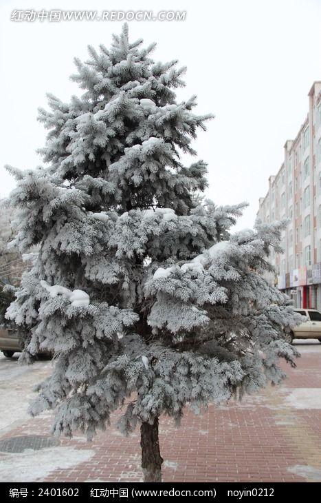 白雪覆盖的松树高清图片下载 编号2401602 红动网
