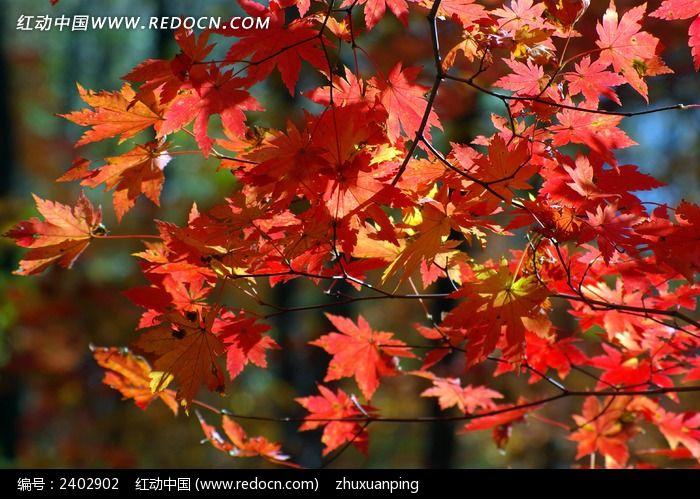 原创摄影图 动物植物 树木枝叶 秋天的枫叶