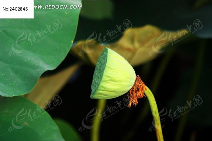 原创摄影图 动物植物 花卉花草 > 荷叶与莲蓬图片  参 数: &