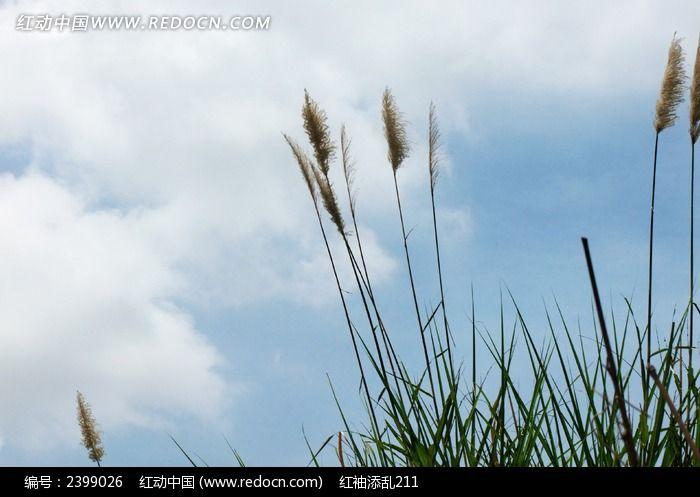 原创摄影图 动物植物 树木枝叶 蓝天白云芦苇