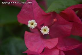红色三叶梅花蕊