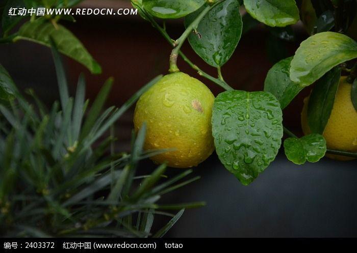 原创摄影图 动物植物 花卉花草 青柠檬果实  请您分享: 素材描述:红动