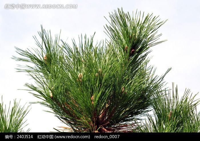 鲜绿的针叶图片_动物植物图片