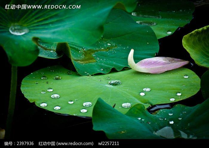 荷叶上的水珠和花瓣图片