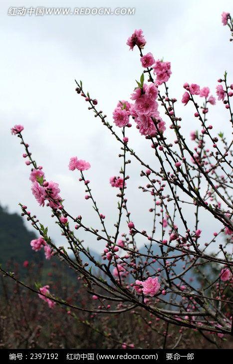 盛开的桃花树图片_动物植物图片