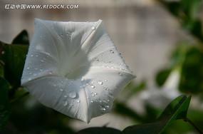 白色喇叭花上的露水
