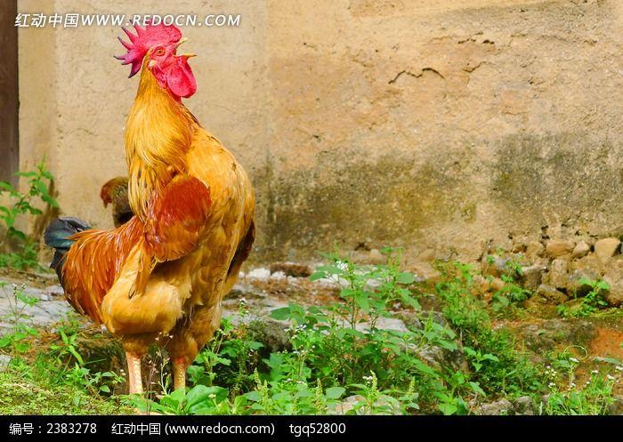打鸣的大公鸡图片