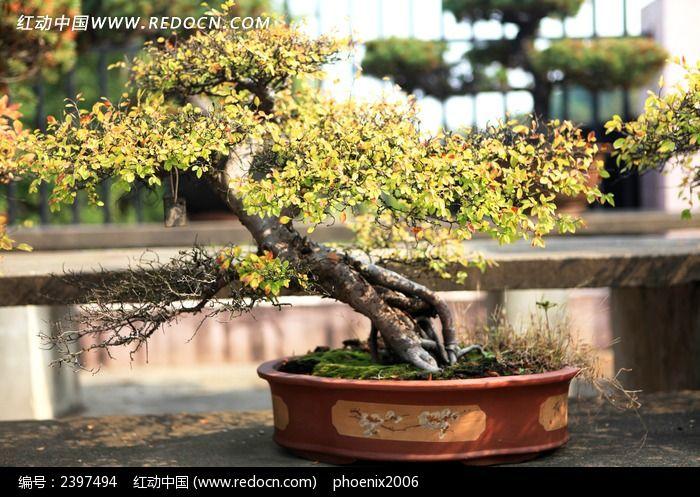 原创摄影图 动物植物 树木枝叶 三十年圆形花盆黄杨盆景艺术  请您