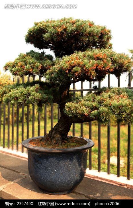 大盘松树观赏盆景艺术图片