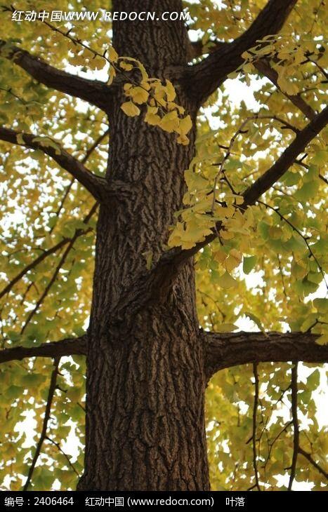 秋天银杏树干图片
