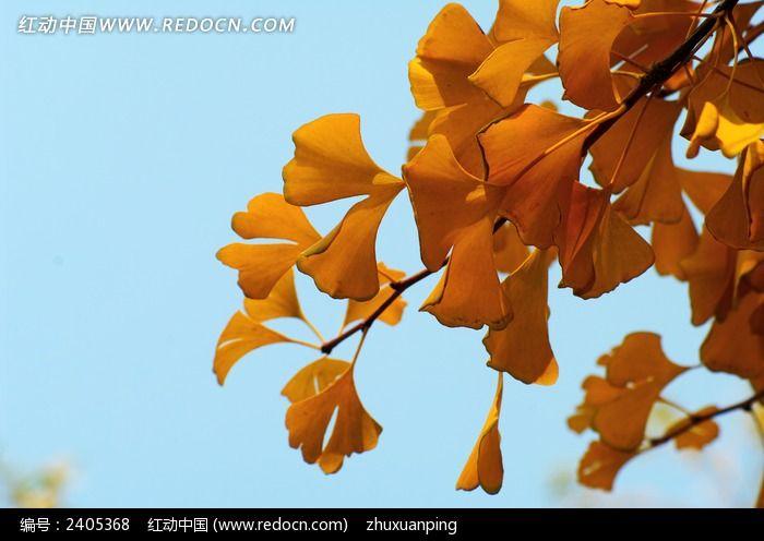 枝头的银杏叶图片