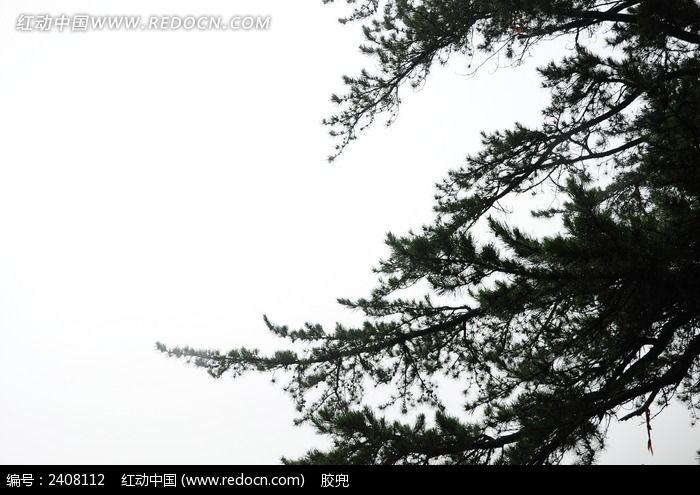 雾中的松树图片,高清大图_森林树林素材