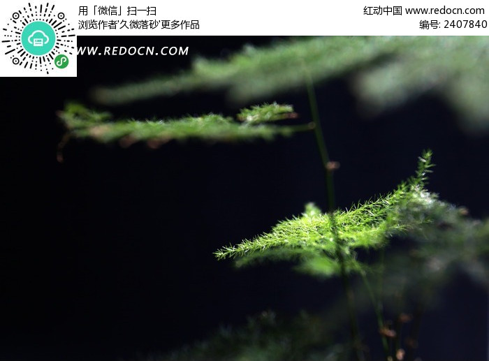 纯色背景的绿色纤细文竹图片