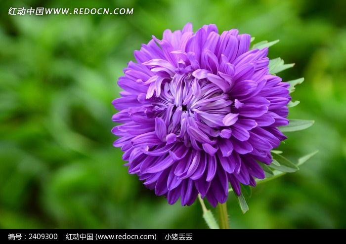 图片_绚烂的紫色菊花图片