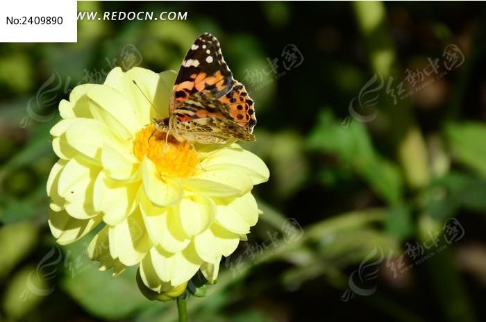 大丽菊上有蝴蝶高清图片下载 红动网