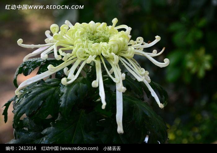 绿色的礼花菊图片