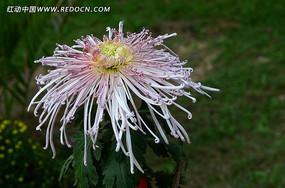 繁花似锦的礼花菊